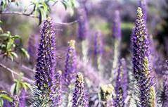 Two Bees (Michael VH) Tags: flowers film fuji minolta superia bees 400 epson srt101 selfdeveloped c41 v500 unicolor