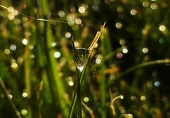 Morning Dew..x (lisa@lethen) Tags: morning macro nature water grass weather spring bokeh web lawn drop dew