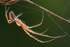 Metellina  (johnhallmen) Tags: spider arachnid kenkopro3002x metidae metellina sigma18035 zerenestacker sonynex7