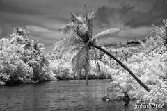 Leaning Tree (orgazmo) Tags: trees monochrome ir lumix landscapes blackwhite olympus panasonic rivers infrared guam talofofo talofoforiver epl2 penepl2 1235mmf28gxvario