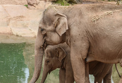 Elephants (rebecca_ejohnson) Tags: life old family baby elephant nature water beautiful animal animals relax zoo close adult drink wildlife young chester elder trust trunk bond elephants endangered protective calf sidebyside connection protect chesterzoo babyelephant