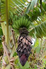 Bunch of Bananas (rschnaible) Tags: food plants usa tree botanical outdoors hawaii us tour pacific farm farming sightseeing maui banana tourist tropical bunch production growing