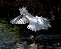 Angry Bird (raptor wack) Tags: nature wildlife snowyegret egrets angrybirds nikkor80400 wildutah steveplatt raptorwack raptorwackphotography nikond750