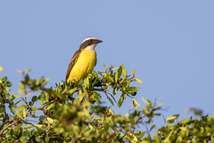 Social Flycatcher, Crooked Tree Lagoon, Belize (LeeDunnPhotos) Tags: belize lagoon lenny boattrip socialflycatcher birdseye crookedtree