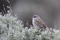 Sagebrush sparrow, Artemisiospiza nevadensis (jlcummins - Washington State) Tags: bird nature washingtonstate coth specanimal specanimalphotooftheday whiskeydickwildlifearea naturesspirit ltmurraywildlifearea coth5 thesunshinegroup sunshinegroup sunrays5