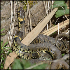 The Three Headed Serpent (image 2 of 3) (Full Moon Images) Tags: nature grass reptile snake wildlife bcn reserve national trust fen cambridgeshire woodwalton nnr greatfen greatfenproject