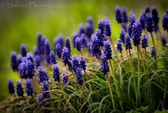 Intangibles (13skies) Tags: flower color colour beauty purple lawn grape hyacinth springt