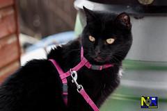 Pussy Cat (Nikon Ranger) Tags: pet cat garden pussy poppy pussycat mypussy blackpussycat