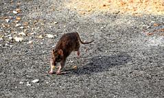 Pas si farouche (Diegojack) Tags: nikon rat course fuite latourdepeilz embouchure nikonpassion animalires d7200 oyonne