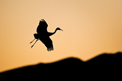 SC29 (Sam Parks Photography) Tags: autumn winter sunset newmexico bird fall animal silhouette horizontal night sunrise rockies fly flying inflight spring wings desert wildlife feathers waterbird aves nighttime rockymountains prairie aquatic migration soaring predator roosting silhouetted avian soar migrating riograndevalley nwr greatplains predatory americansouthwest wader omnivorous floodplain winterplumage wadingbird gruiformes omnivore migrate gruidae bosquedelapachenationalwildliferefuge winterrange winteringgrounds eveningroost gruscanadensistabida greatersandhillcrane