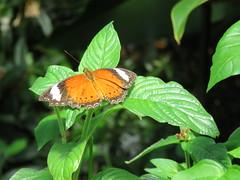 Cethosia penthesilea 2 (barryaceae) Tags: house butterfly harbour australia nsw coffs the ausbutterfly