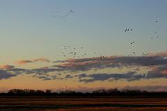 14. Sandhill cranes (Misty Garrick) Tags: nebraska crane migration alda sandhill sandhillcranes sandhillcrane aldane
