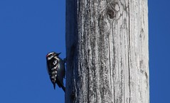 Telephone pole worker (Quistian) Tags: street urban toronto bird canon woodpecker rps downy cabbagetown 2016 t5i 201604 20160420