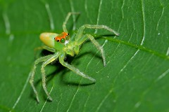 Green eyes Jumping Spider (tomquah) Tags: macro green spider canoneos5d canonef100mmf28 mmos