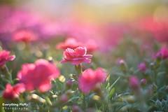 DSC_0080 (Fluffphoto) Tags: flowers sunset sunlight golden lowes