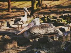 2016-04-09_08-19-51 (Sergei Spiridonov) Tags: birds zoo pelican rostovondon pelecanus