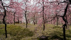 20160229-105544_5K_80 (pya) Tags: kyoto 京都 camellia plumblossoms jonangu 梅花 茶花 城南宮 椿花 weepingplumblossoms