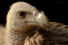 Schneegeier (AchimSchmidt) Tags: raptor vulture birdofprey geier greifvogel