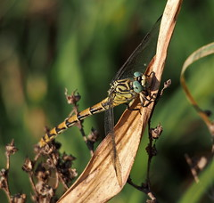 Dragonfly (quarzonero ...Aldo A...) Tags: nature insect dragonfly insetto libellula coth sunrays5