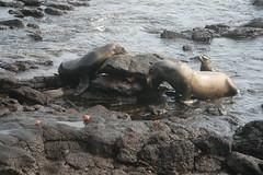 IMG_7618 (chupalo) Tags: sealions lavarocks islasplaza