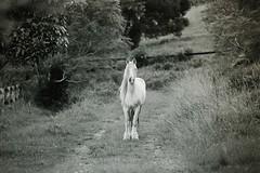 Bella (colin mclellan) Tags: horses blackandwhite film monochrome analog nikon kodak f100 nikonf100 analogue coffsharbour kentmere kentmere100