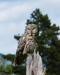 GG49 (Sam Parks Photography) Tags: trees wild summer usa bird nature animal forest rockies spring wings woods nps wildlife unitedstatesofamerica ghost hunting feathers meadow aves raptor northamerica rockymountains hunter wyoming greatgrayowl phantom predator carnivorous naturalworld jacksonhole avian hunt nfs tetonrange parkservice strigiformes predatory strixnebulosa gye forestservice mountainous carnivora strigidae bridgertetonnationalforest verticalorientation greateryellowstoneecosystem carniore