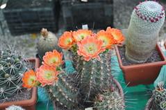 Echinocereus coccineus (douneika) Tags: cactus cactaceae echinocereus coccineus