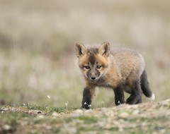 Young Fox Kit (T0nyJ0yce) Tags: flowers baby cute nature animals cub wildlife adorable fox kit foxes silverfox redfox canon7dmarkii tamron150600