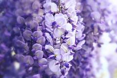 glicine (Eleonora Dolara) Tags: flower macro closeup spring poetry violet m wisteria elegance softcolor eleonoradolara edolarta