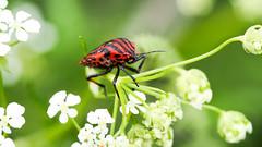 Strojnica baldaszkwka (Graphosoma lineatum) (zimoch84) Tags: red black milan bug dof stripes acmilan focusstacking strojnica baldaszkwka olympus60mmf28macro