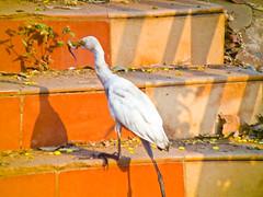 egretsnake (prem swaroop) Tags: family white heron order alba great ardea species heroin egret genus ardeidae pelecaniformes largeegret a commonegret