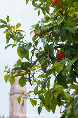 Nice - Oranger-2 (majorlaurent) Tags: orange plant france fruit plante french nice bokeh blurred reflet cote flou dazur