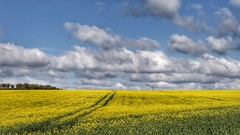 Over The Horizon (Thank you for 4M+ views.) Tags: sky colour nature beauty field lines yellow clouds canon landscape eos natural horizon tracks seed rape crop dorset 7d oil april parallel rapeseed nickfewings