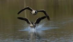 Canadian geese (ftm599) Tags: wild lake bird nature water birds flying geese wings nikon action wildlife goose canadiangeese bif lowbarns durhamwildlifetrust