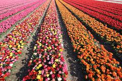 Couleurs de saison (phidel60) Tags: flowers flower fleur couleurs paysbas tulipes fleursdeschamps
