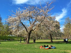 Boston Common in Spring ((Jessica)) Tags: flowers tree boston downtown massachusetts newengland sunny bostoncommon whiteflowers lyinginthegrass
