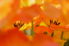 Fire Kindled (Synapped) Tags: orange flower center stamen tulip select