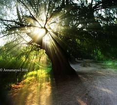 Rayos de atardecer (Arenamarysol Photography) Tags: trees arboles outdoor aguascalientes sunbeams ags rayosdesol elsabinal arenamarysol