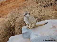 Monarto Zoo - Meerkat (The Lookout) (samcol6) Tags: nature animals lumix zoo meerkat sam south australia panasonic col 2016 monarto fz150 samcol6