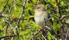 Chiffchaff 280416 (4) (Richard Collier - Wildlife and Travel Photography) Tags: birds wildlife ngc naturalhistory npc british chiffchaff britishbirds