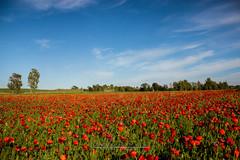 Papaveri (Obiettivo Leonch) Tags: sardegna countryside sardinia campagna cielo da fiori colori fare papaveri senorb selegas