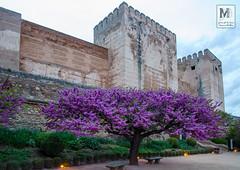 Cercis siliquastrum de los jardines de la Alhambra, junto a la Alcazaba (Juan de la Cruz Moreno Balboa) Tags: naturaleza flores plantas alhambra granada 2016 cercissiliquastrum rboldejudea rboldelamor