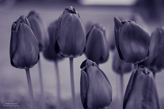 Blue Tulips (Patrick Scheuch Photography) Tags: flowers flower nature monochrome canon 50mm spring seasons tulips jahreszeiten natur blumen blume bnw frhling hofgarten tulpen blooming tulpe frhjahr blhend canoneos600d