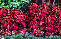 Haunted Garden (BudCat14/Ross) Tags: flowers color gardens disneyland vivid hauntedemansion