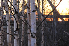 Birches (Attolrahc) Tags: trees sunset nature forest canon eos dof bokeh outdoor birches 60d canoneos60d canonefs18200mmf3556is