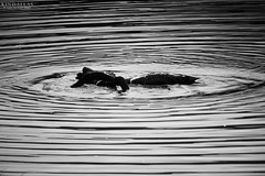 Dancing in the water (Kindallas) Tags: park brazil white lake abstract black geometric water swimming swim canon silver duck reflex waves outdoor geometry circles ducks t5 ibirapuera paulo so 250mm abstracism