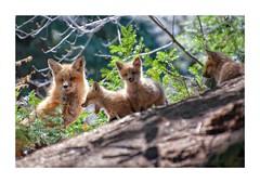 Ah non, encore des photographes! (Joanne Levesque) Tags: nature animal wildlife redfox faune jardinbotaniquedemontral renardeaux nikond90 renardroux montrealsbotanicalgarden