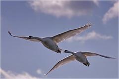 Swans _004 (cees van gastel) Tags: nature water birds vogels natuur swans breda zwanen tamron70300mm ceesvangastel canoneos550d waterdonken waterakkers