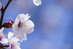 Late Spring  (Alpha 2008) Tags: light sun flower japan cherry sapporo hokkaido dof blossom bokeh sony   cherryblossom  alpha