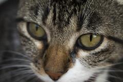 Gato (Lechuza Fotografica) Tags: animal cat gato
